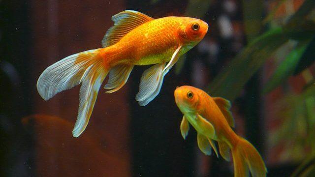 2匹の金魚